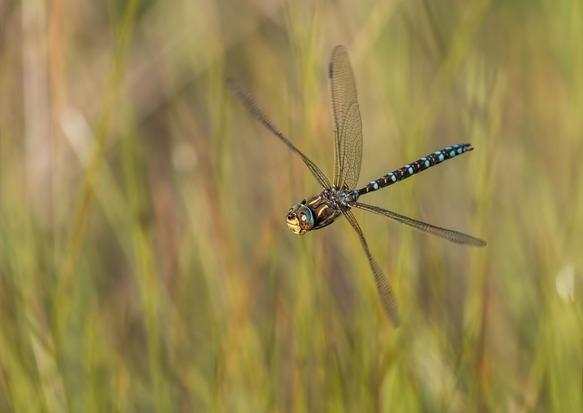 A dragonfly at the Mosses