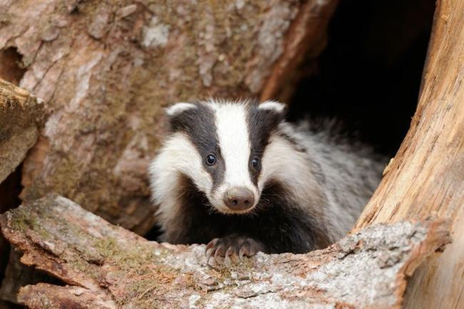 A survey was carried out on road-kill badgers collected in Cheshire in 2014