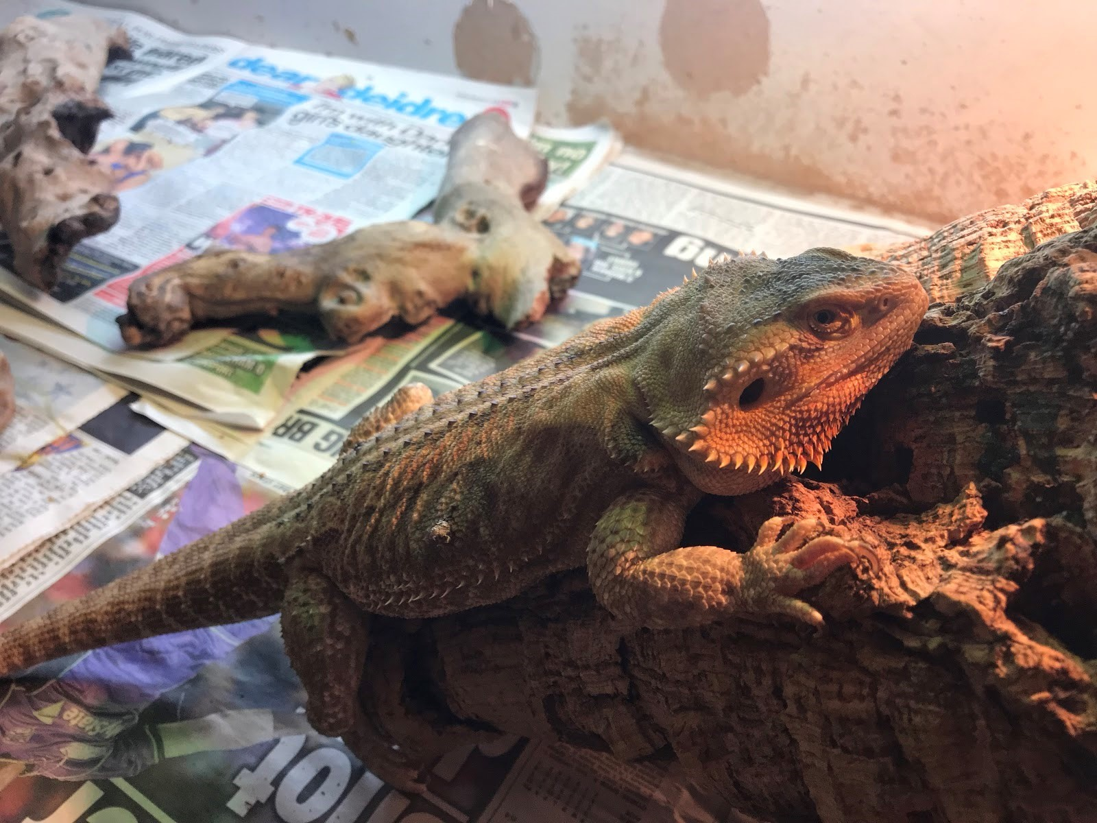 This bearded dragon was found dumped in a shoebox
